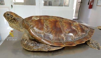 Investigadas dos personas por estar en posesión de una tortuga disecada sin documentación